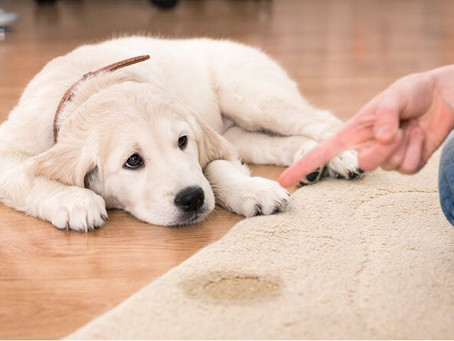 How to remove Pet Stains from your carpet.