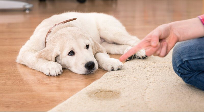 pet stains, pet odor, carpet stains, carpet stain removal, carpet cleaners near me, best carpet cleaner louisville,