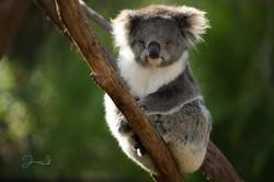 Healesville Koala (28)