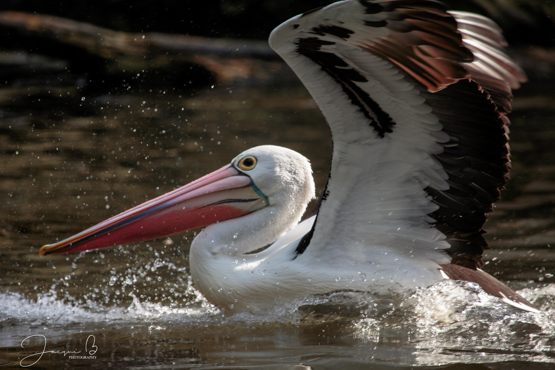 Healesville Pelican (13)