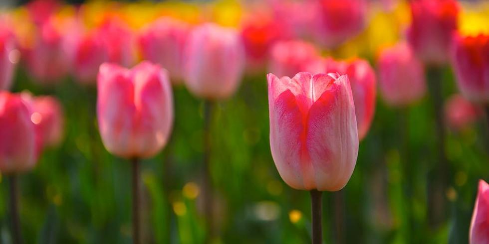 """Tiptoe Through the Tulips"""