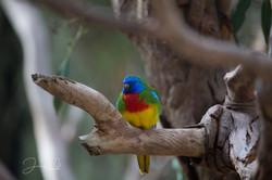 Healesville parrots (2)