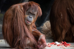 Orangutan - Jacqui Barr - Melbourne Zoo