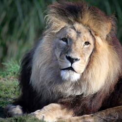 Jacqui B Photography Zoo lion--2