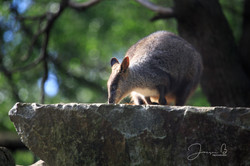 Healesville Rock Wallaby (3)