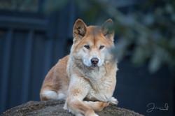Healsville Dingos (1)