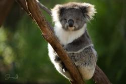 Healesville Koala (28)-2