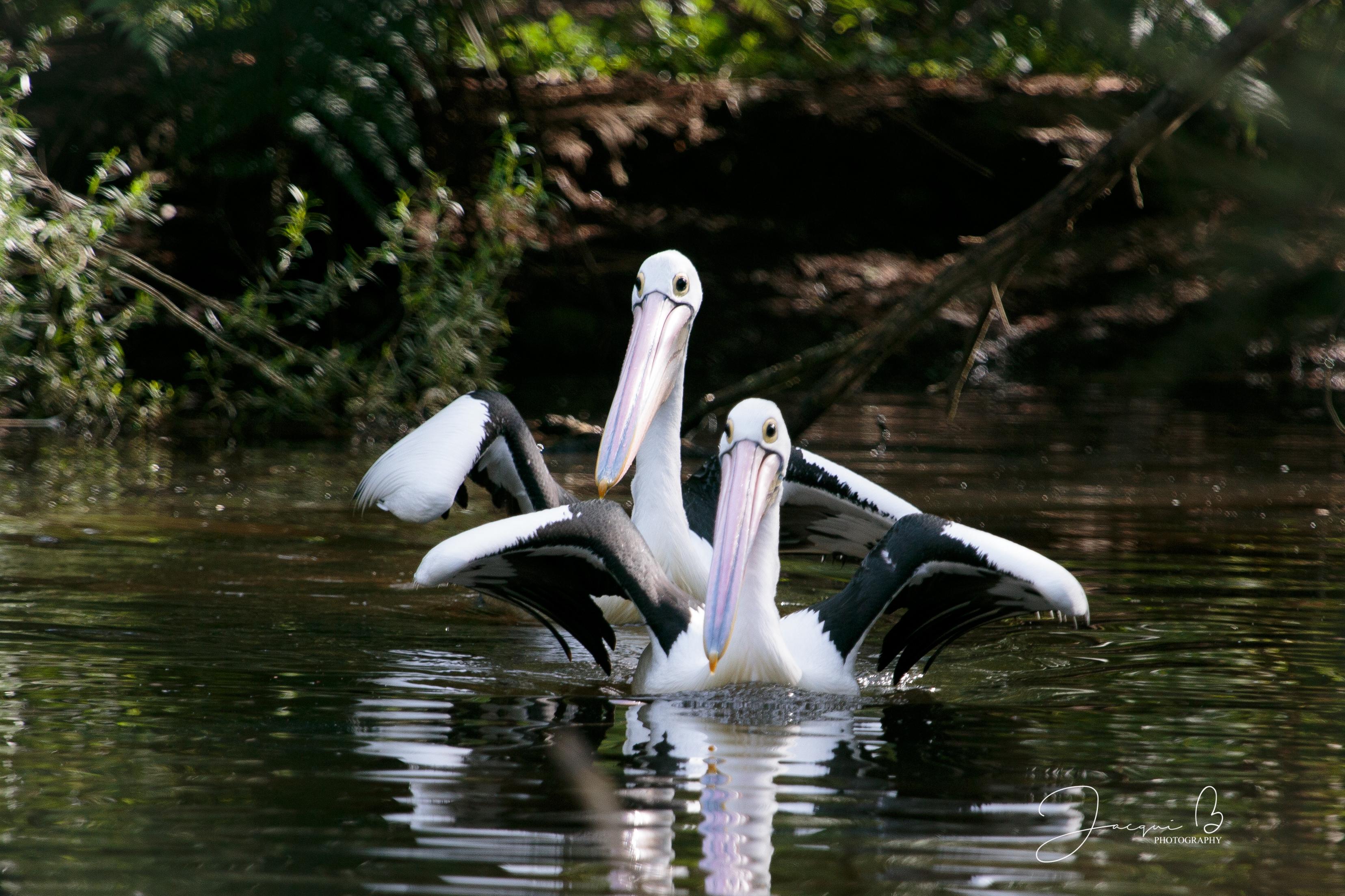 Healesville Pelican (5)