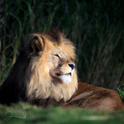Jacqui B Photography Zoo lion-