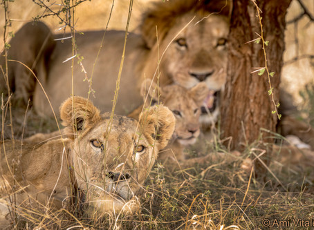 Kenya's National Lion and Predator survey