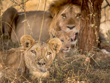 Kenya's National Lion and Predator survey