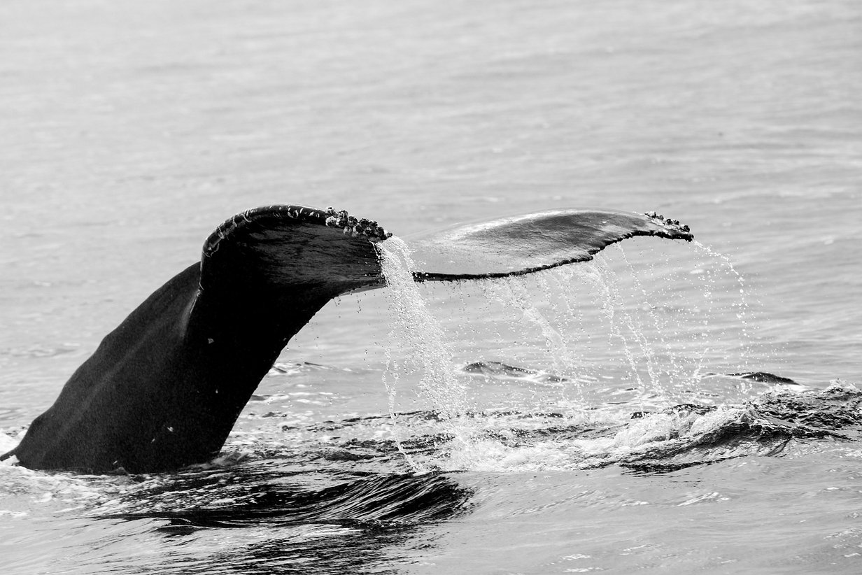 Majestic whale flipping its tail out of the water