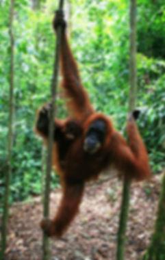 orangutan_op_640x1009.jpg
