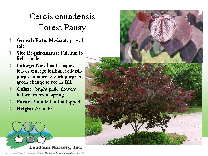 Red Bud Forest Pansy