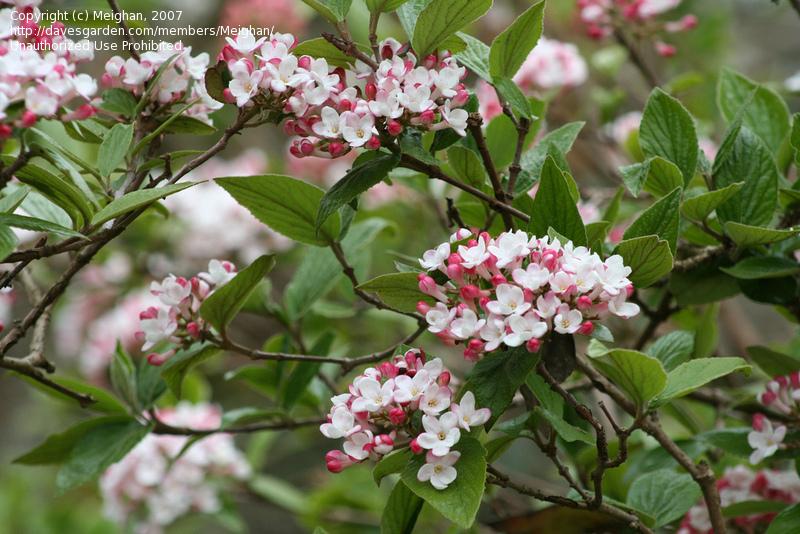 Viburnum Bloom
