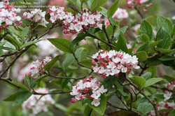 Viburnum Bloom