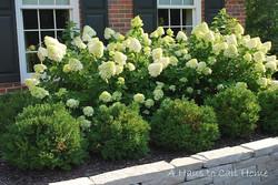 Limelight Hydrangea