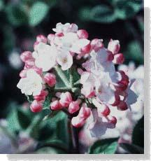 carlesii viburnum flower and buds