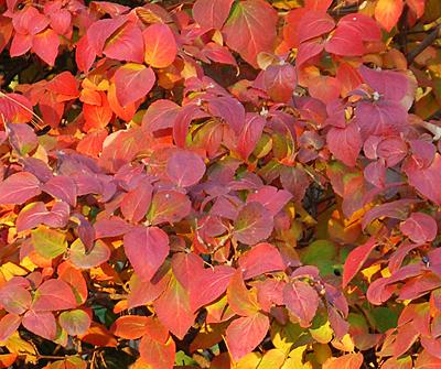 Viburnum fall color