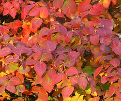 Viburnum fall color