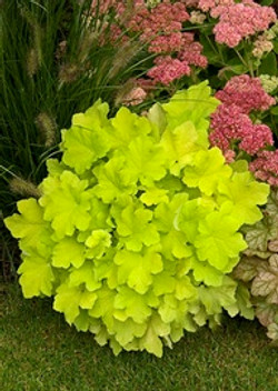 Heuchera Lime