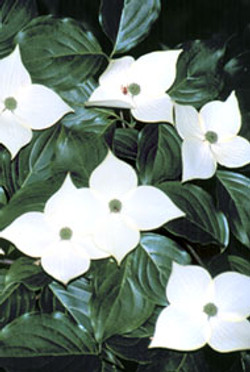 Kousa dogwood flower