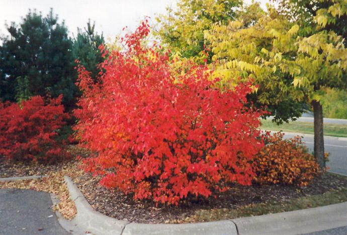 Viburnum in fall