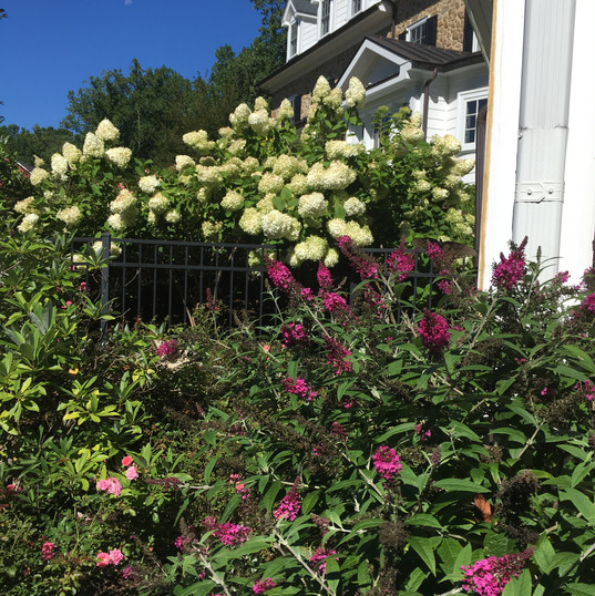 Hydrangea and dwarf butterfly bush