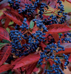 Winterthur Viburnum fall color