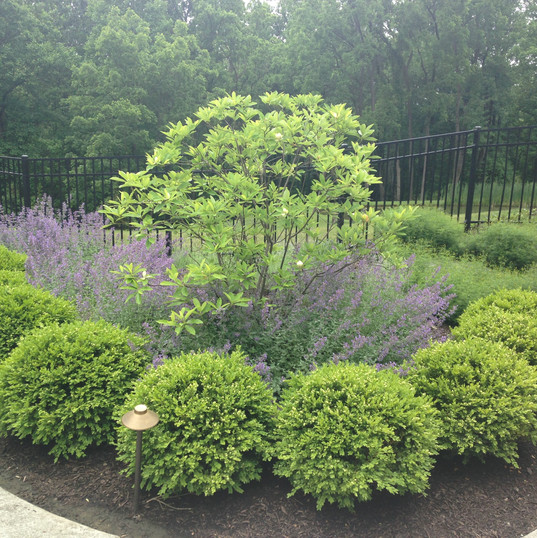 Sweetbay magnolia, boxwood and catmint