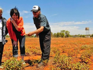 Rains bring early Bush Tomato harvest