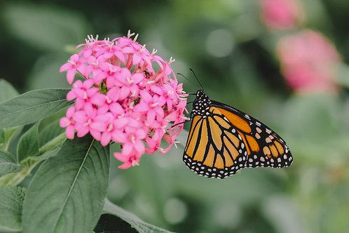 Gentle Monarch - Print