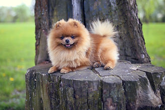 Pomeranian dog on a walk. Dog outdoor. B
