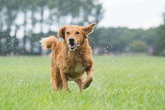 Dog runs in the field.jpg