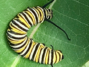 Caterpillar Wisdom: Timing is Everything
