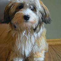 Havanese, Dog Training, dog trainer, in house consultation