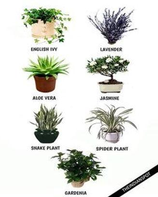 צמחים לשינה טובה.jpg