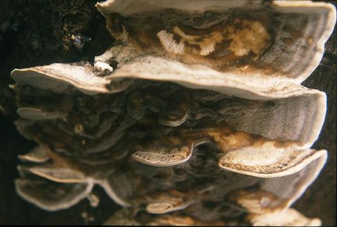 Bracket fungus 28/1/88