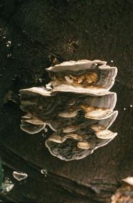 Bracket fungus. 28/1/88