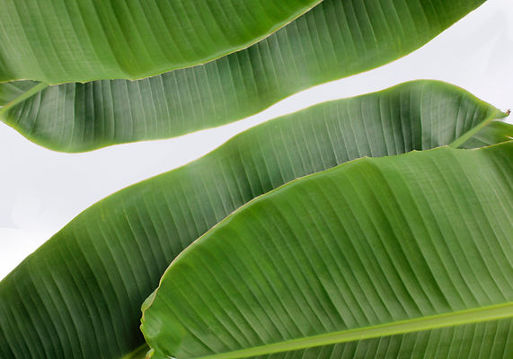 banana-leaf-surface-pattern.jpg