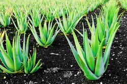 bigstock-Aloe-vera-a-plantation-of-herb-26361464.jpg