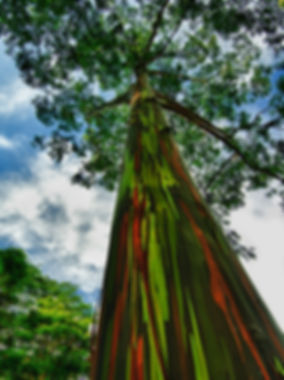 eucalyptustree.jpg