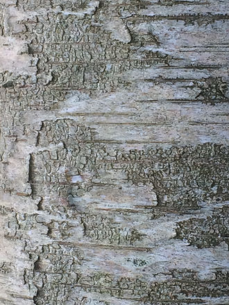 Silver Birch Close Up.jpg