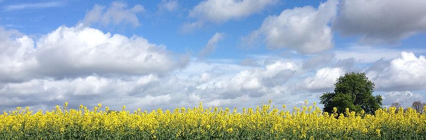 Whatton Farm rapeseed Oil Seed Rape