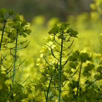 Rapeseed pods growing