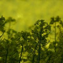 Evening sun on oilseed rape