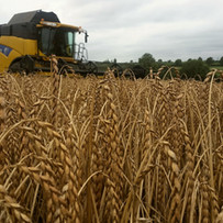 The combine at work