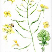 Painting of oilseed rape 'Brassica Napus' by www.katebrooks.co.uk (aka the farmer's wife!)