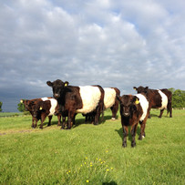 Our Belted Galloways