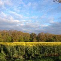 Early morning over a field of oilseed rape